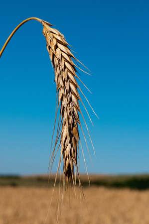 ear of wheat photo
