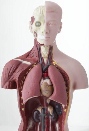 human heart anatomy: Plastic Human Body