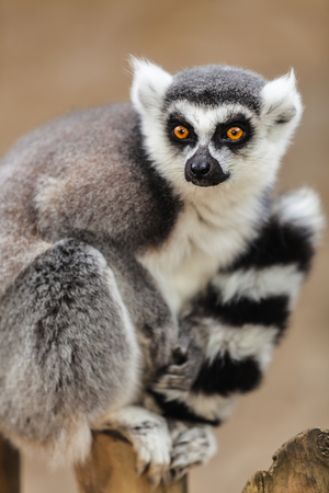 tailed: Lemur sitting on top of a wooden pole