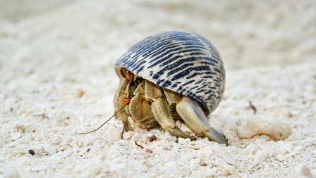 Maldives Wildlife Beach Hermit Crab Animal Shell Seashell White Beach Macro Sunny Day