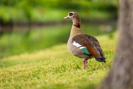 Close-up Canada Goose Public Park Nature Lush Green Bokeh Animal Eye Foto de archivo