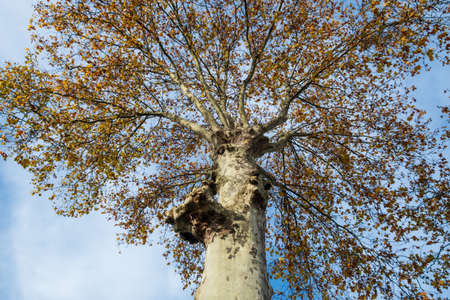 Treetop on top of thick tree trunk from below Archivio Fotografico