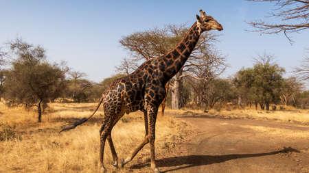 Senegal Safari Series: Giraffe on the Move Archivio Fotografico