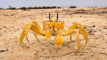 Crab crayfish having fun on the beach Senegal Safari La Langue de Barbarie Archivio Fotografico