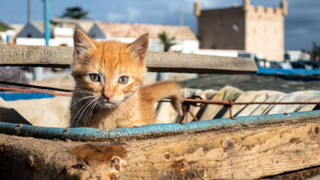 World's cutest young cat kitten in a wooden basket crate in the docks of Essaouira Morocco Archivio Fotografico