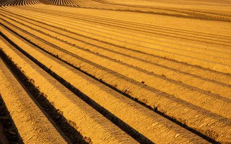Asparagus agrigultural field row upon row