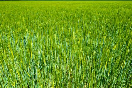 Lush green farmland close-up Archivio Fotografico
