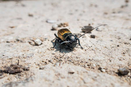 Glossy yellow-black European beetle on barren ground