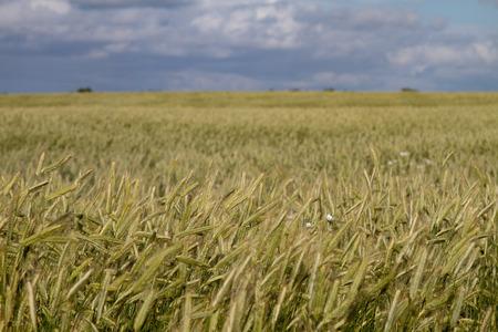 wheatfield: wheatfield Stock Photo