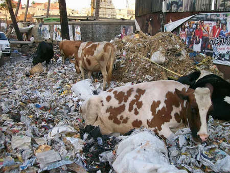 Cows and rubbish  in the street of India