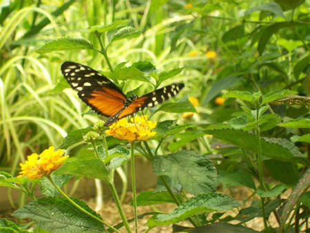 hexapoda: Butterfly called  Isabellas Longwing who gathers a flower Stock Photo