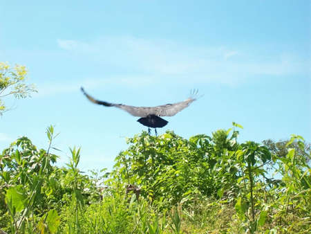 Vulture flying over trees in Amazonia Stock Photo