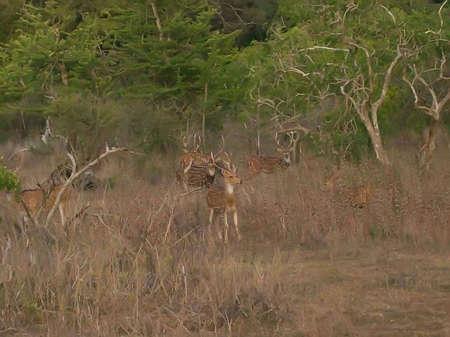srilanka: Deers in Yala national park in Sri-Lanka