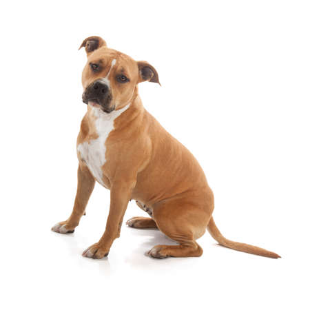 tawny staffordshire in studio on white background