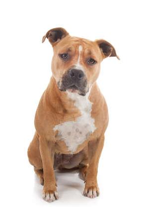 vigilant staffordshire dog isolated in white background Stock Photo