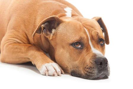 sad dog stafforshire white background isolated in studio Stock Photo