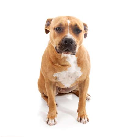 alone sad dog isolated staffordshire on white background