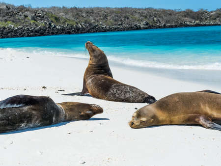 Sea lions sleeping and posing on beach at Gardner Bay on Espanola Island in Galapagos Ecuador