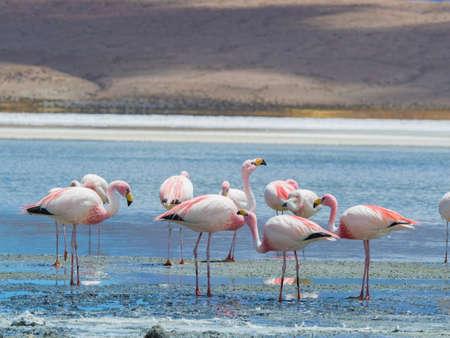 Pink James Flamingos standing in water in salt lagoon in Bolivia