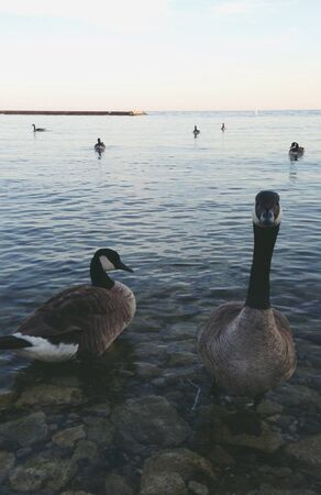 canadian geese: Canadian geese on Lake Ontario  Stock Photo