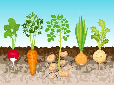 vegatables: Garden with root vegetables, vector illustration