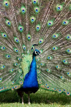 Royal Peacock Banco de Imagens
