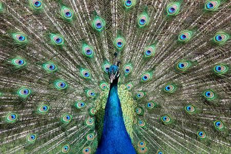 centered: Peacock Centered Stock Photo