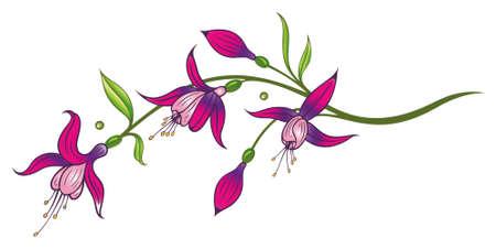 fuchsia: Pink fuchsia Illustration