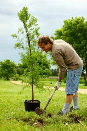 plantando arbol: El hombre siembra Amanecer Redwood Tree Foto de archivo