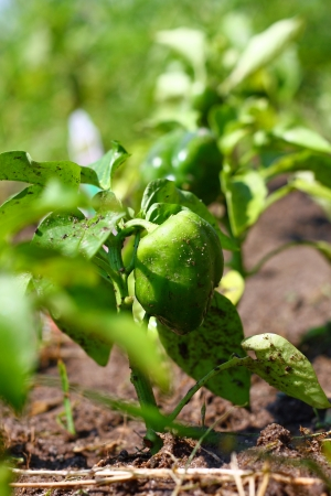 planted: a close up of a little, baby green bell pepper plant in a vegetable garden Stock Photo