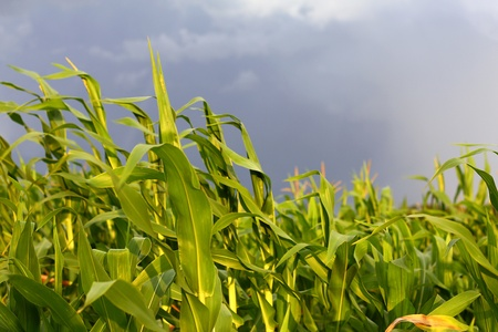 close up of some bright green stalks of sweet corn blowing in the wind in front of dark storm clouds photo