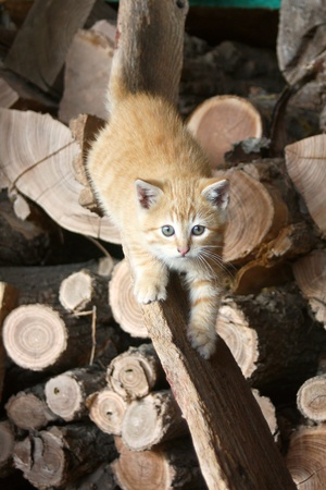 a cute, fluffy baby kitten is prowling for prey as it climbs down a wood board on a pile of logs in a barn photo