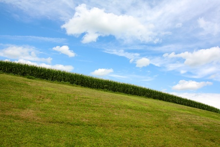 A landscape picture of a green summer sweet cornfield on a grassy hill in front of a blue sky with white cumulus clouds 版權商用圖片