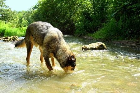 summer dog: A large german shepherd mix dog is drinking water from a rocky stream
