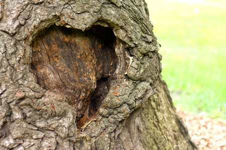 a heart shaped decaying burl is in the bark on the trunk of an old tree Imagens
