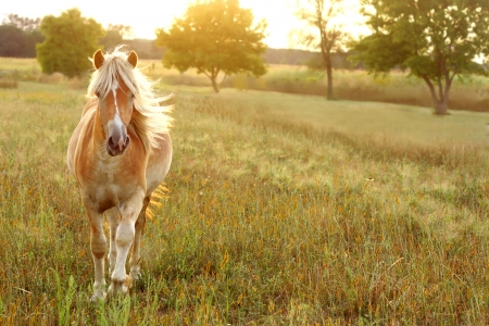 running nose: a tan colored horse with a white mane blowing behind him is running toward the camera on a summer evening