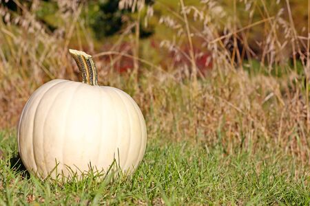 A white pumpkin is sitting in the grass in front of a background of colorful fall trees