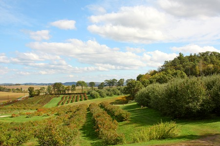countryside landscape: green rolling hillside of an apple orchard, with rows of apple trees and blueberry bushes, with autumn cornfields in the background, and a blue cloudy sky Stock Photo