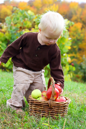 APPLE trees: a cute baby boy is leaning over and picking an apple out of a wicker basket at an orchard on a sunny autumn day