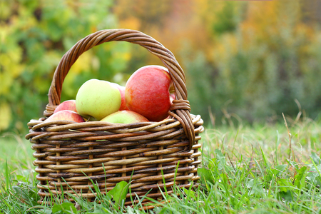 a wicker woven basket full of fresh picked apples at an apple orchard in the autumn Stock Photo - 23077953