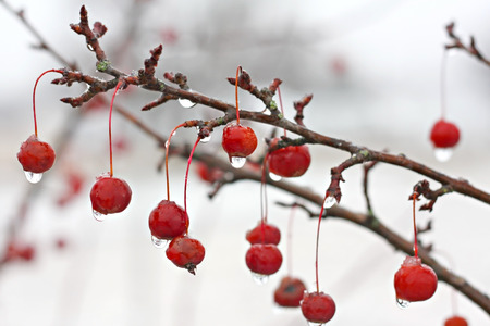 A tree branch of red crabapple fruit is layered in ice after a winter snow photo