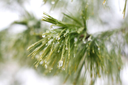 small beads of water have frozen into ice droplets on the branch of a White Pine Christmas tree outside in the winter  photo