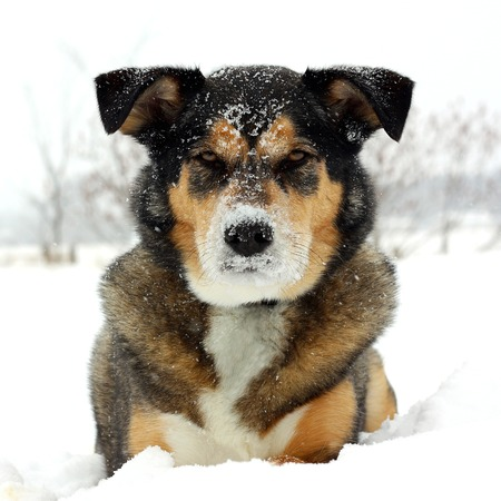 a square portrait of a cute German Shepherd Mix Breed dog looking at the camera with snow on his nose and laying snowy white with room for text, copyspace  photo