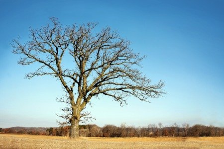 huge tree: A isolated, lone old Oak tree has gnarly twisted bare branches in late winter, early spring in a Midwestern countryside. Stock Photo