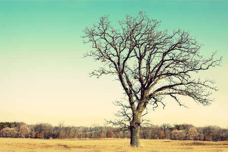A lone old Oak tree has gnarly twisted bare branches in late winter, early spring in a Midwestern countryside   Vintage style coloring  写真素材