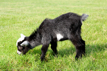 billy goat: A little black and white baby goat is outside eating grass on the farm. Stock Photo