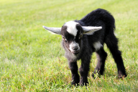 billy: A cute black and white baby billy goat is standing outside in the grass on the farm on a summer day.