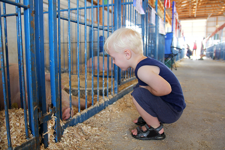 a young boy child is crouching down, looking at a pig at an American County Fair  Stock Photo