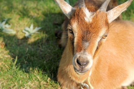 billy: A hungry brown domestic goat is laying in the sun eating grass