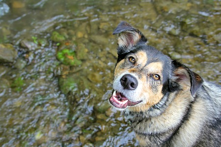 A happy German Shepherd mix dog is looking at the camera as he swims in a small stream on a summer day   Water leaves room for copy-space  photo